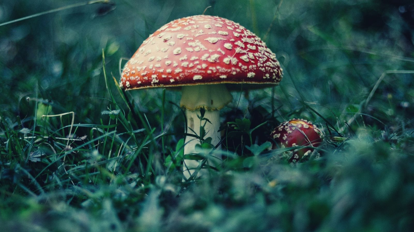 A toxic amanita muscaria mushroom growing in the forest