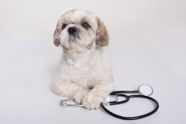 สุนัขขนสวยงามหลังได้รับการรักษาโรคเรื้อน