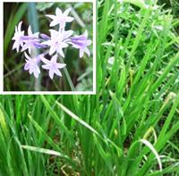 eo-chive-garlic-purple.jpg