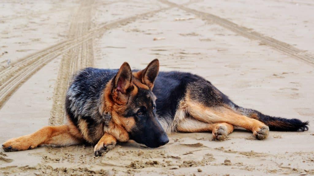 a german shepherd laying down in sand