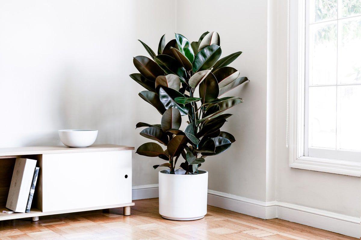 Tanaman hias karet kebo atau rubber plant - source: leonandgeorge.fr
