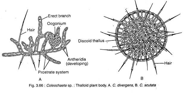 Coleochaete-Characteristic, Occurenece, Features and Reproduction.