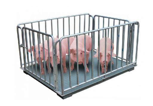 Cân gia súc động vật mang lại tiện ích bất ngờ