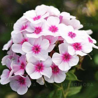 https://www.vitroflora.pl/img/produkty/rosliny/phlox-flame-pro-soft-pink_76344_1.jpg