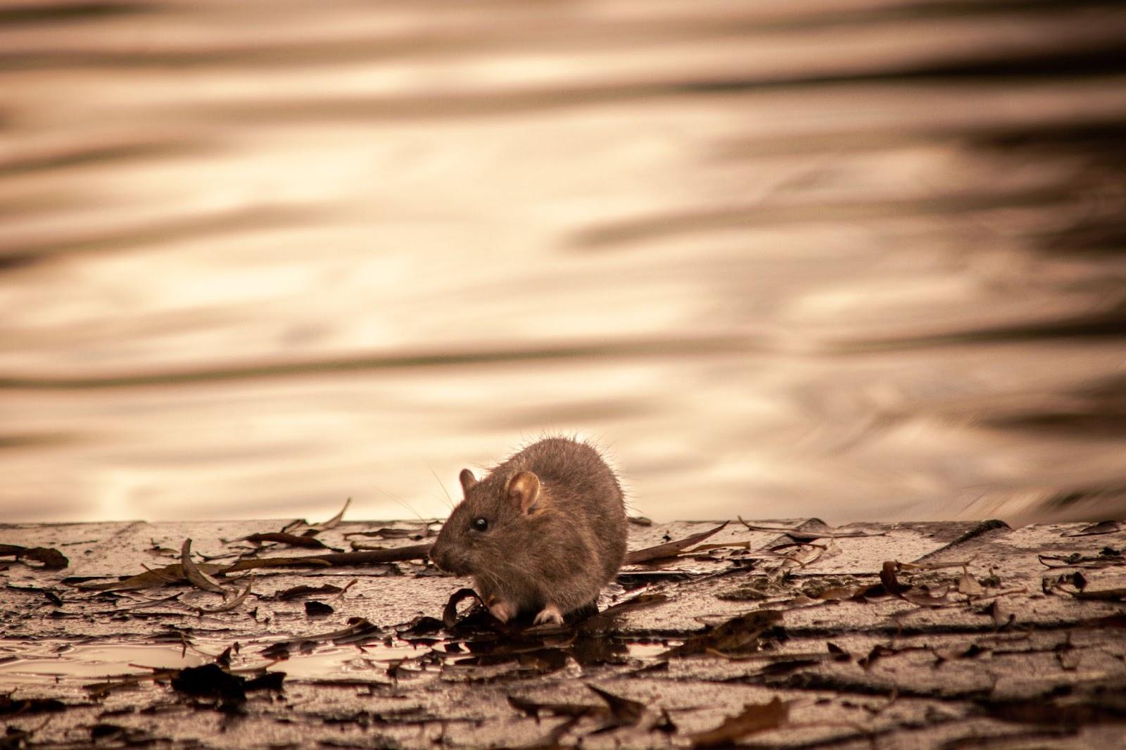 Como Combater Ratos