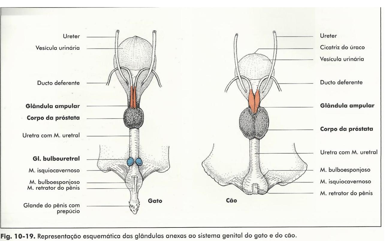 Resultado de imagem para sistema reprodutor macho e fêmea