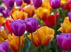 Obraz znaleziony dla: tulipany