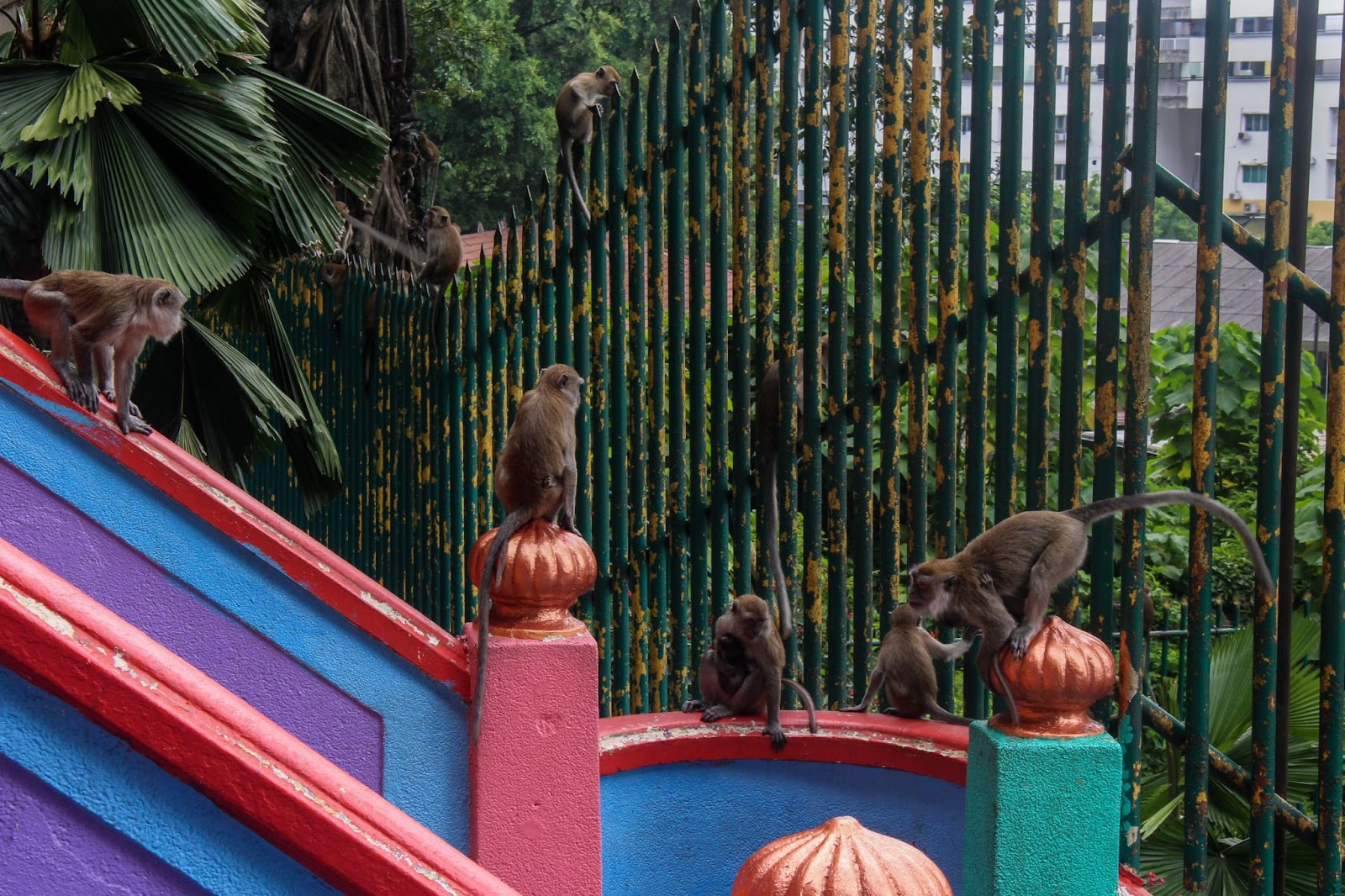Opice v Malajzii