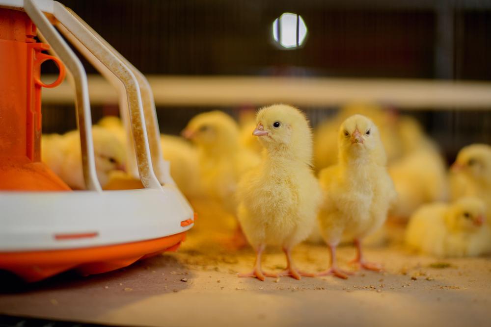 Aves são frágeis quando novas e demandam um ambiente fechado para a criação. (Fonte: Shutterstock)