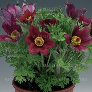 https://www.vitroflora.pl/img/produkty/rosliny/byliny-i-trawy_pinwheel_79123_1.jpg