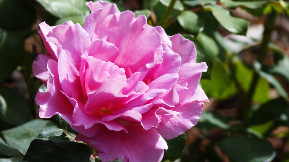 Best Rose Today.jpg