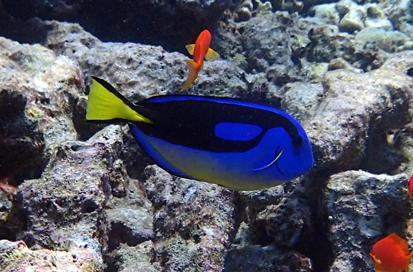 https://upload.wikimedia.org/wikipedia/commons/3/37/Paracanthurus_hepatus_Maldives.JPG
