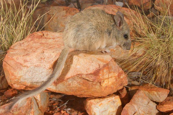 A central rock rat sits on a rock