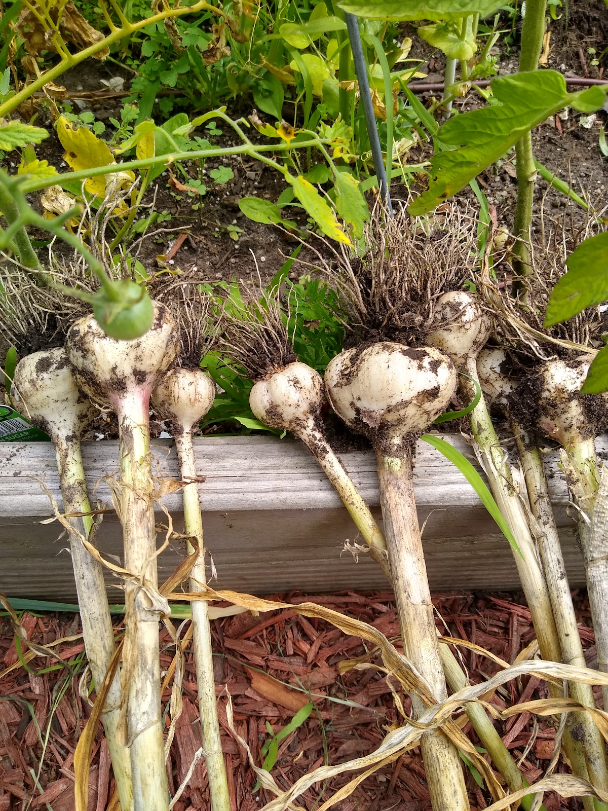 harvested garlic picture