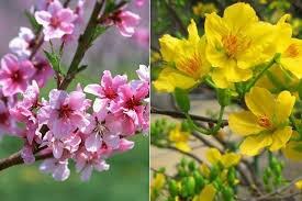 Kết quả hình ảnh cho hoa đào hoa mai