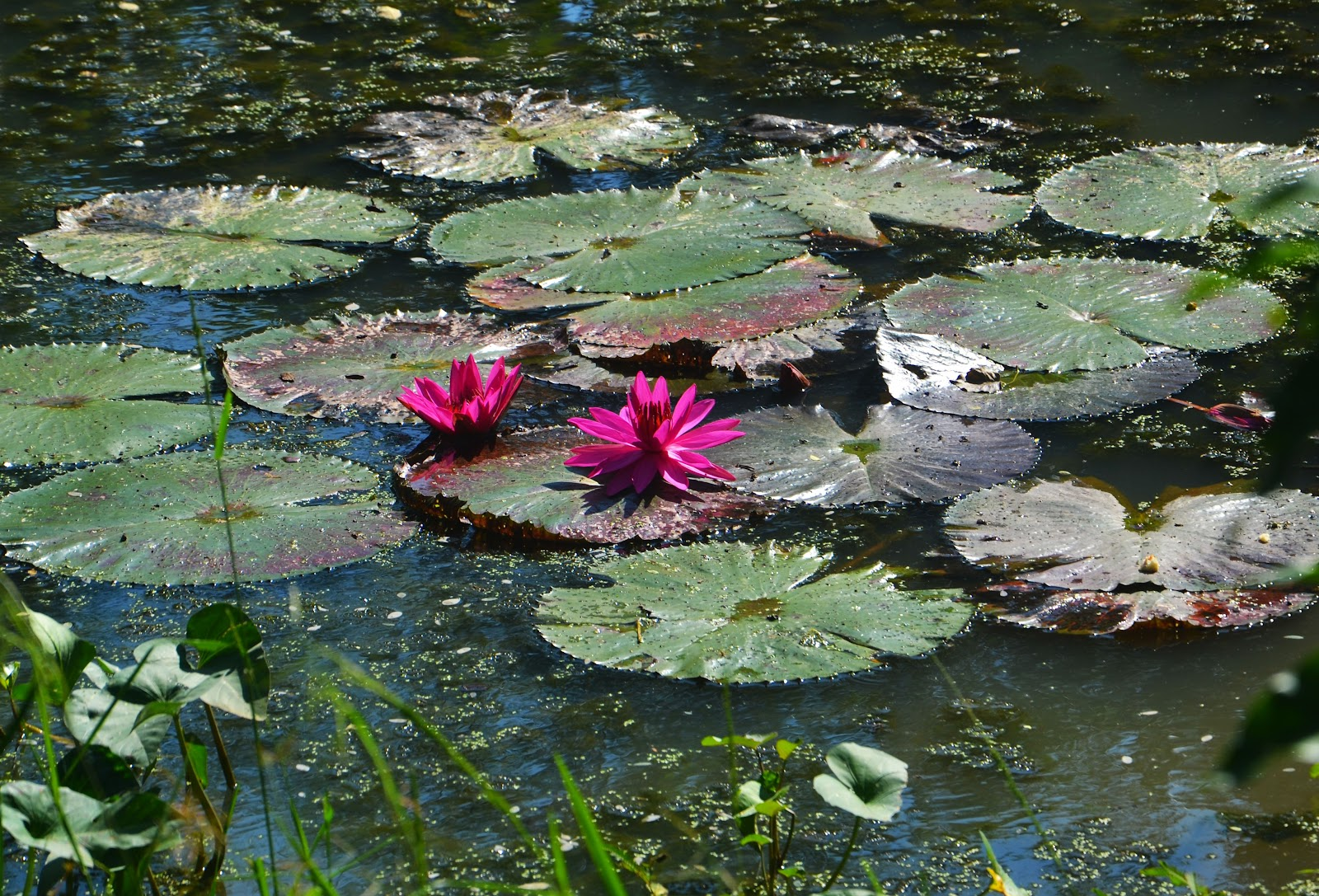 landscape-water-nature-outdoor-light-plant-leaf-flower-lake-view-summer-vacation-travel-pond-stream-reflection-tranquil-color-peaceful-natural-park-scenery-calm-botany-garden-tourism-aquatic-plant-flora-body-of-water-leaves-wetland-mountain-lake-scene-water-park-lily-natural-beauty-flowering-plant-beautiful-landscape-fish-pond-peaceful-background-land-plant-685353.jpg