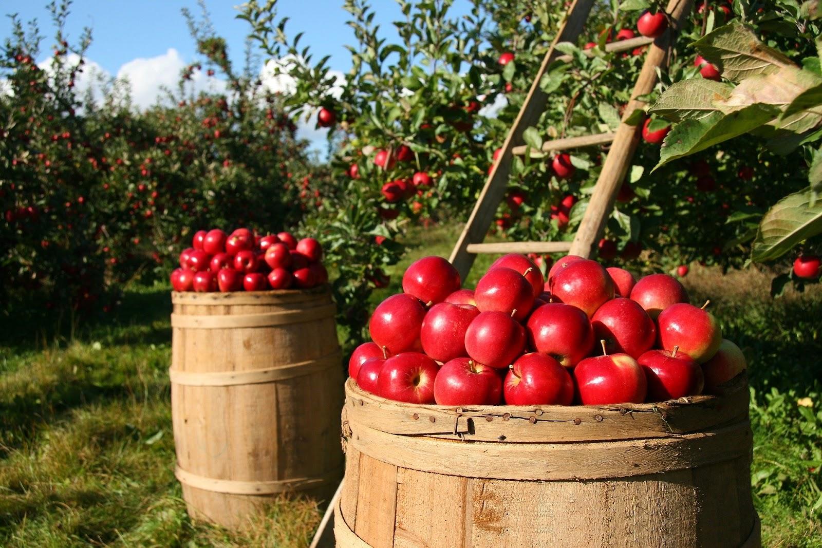 Aproximadamente 30% da produção de maçã é descartada no Brasil por ano (Fonte: Pixabay)