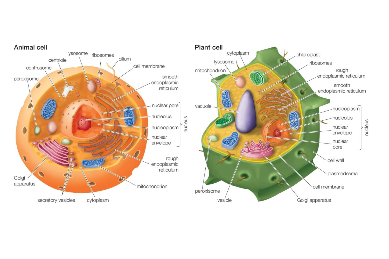 Image result for animal cell and plant cell
