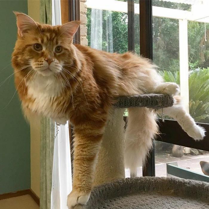 La sorprendente historia del gato más grande del mundo