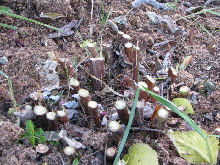 Обрезка кустов ремонтантной малины