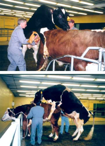 Semen collection in a bull (Photos courtesy of Gencor - The Genetics Corporation).