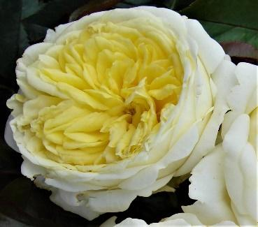 Kronprinsesse Mary - Colin Gregory Roses Ltd, Lincolnshire