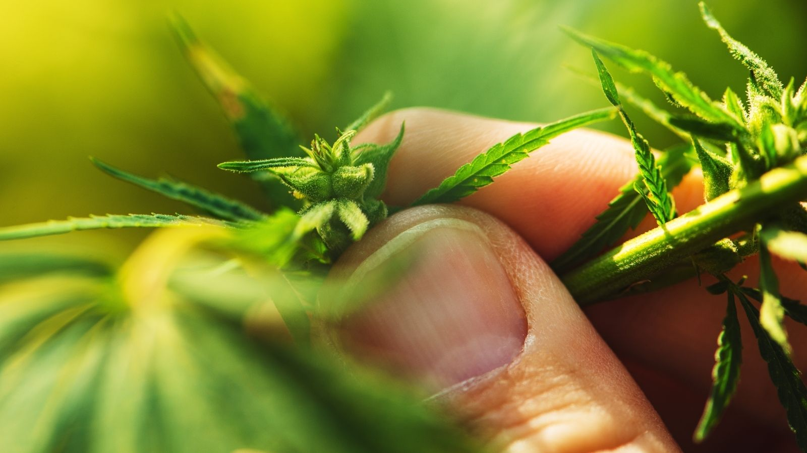 An Introduction to Cannabis & Inflammation | Wellness | My Supply Co.