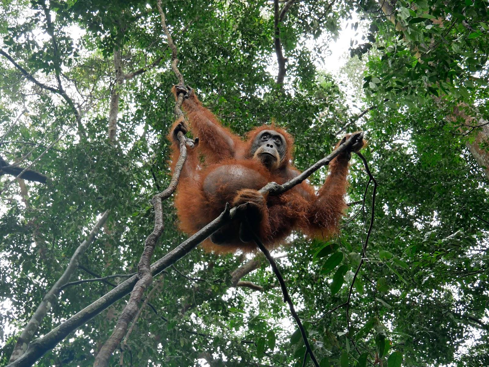 orangutanes en el trekking de bukit lawang