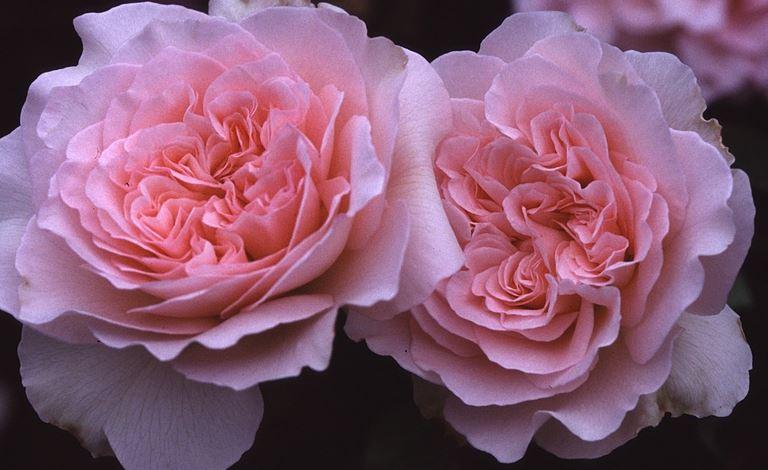 роза Admired Miranda