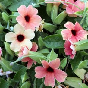 Image result for thunbergia african sunset