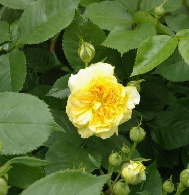 англиская роза  YELLOW BUTTON