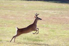 Image result for deer running