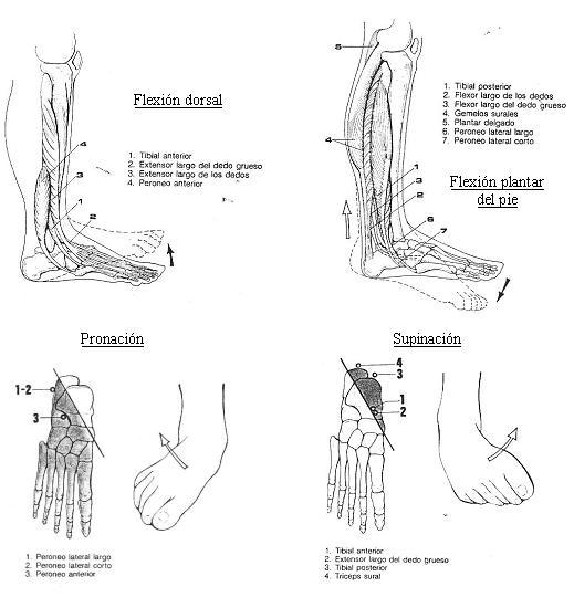 Anatomía básica del pie - ZaMi.es