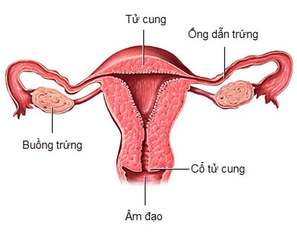Cấu tạo tử cung của phụ nữ