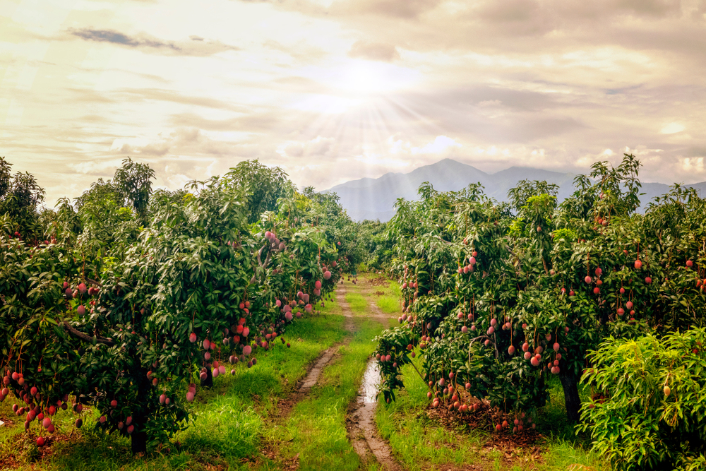 Plantação de mangueiras