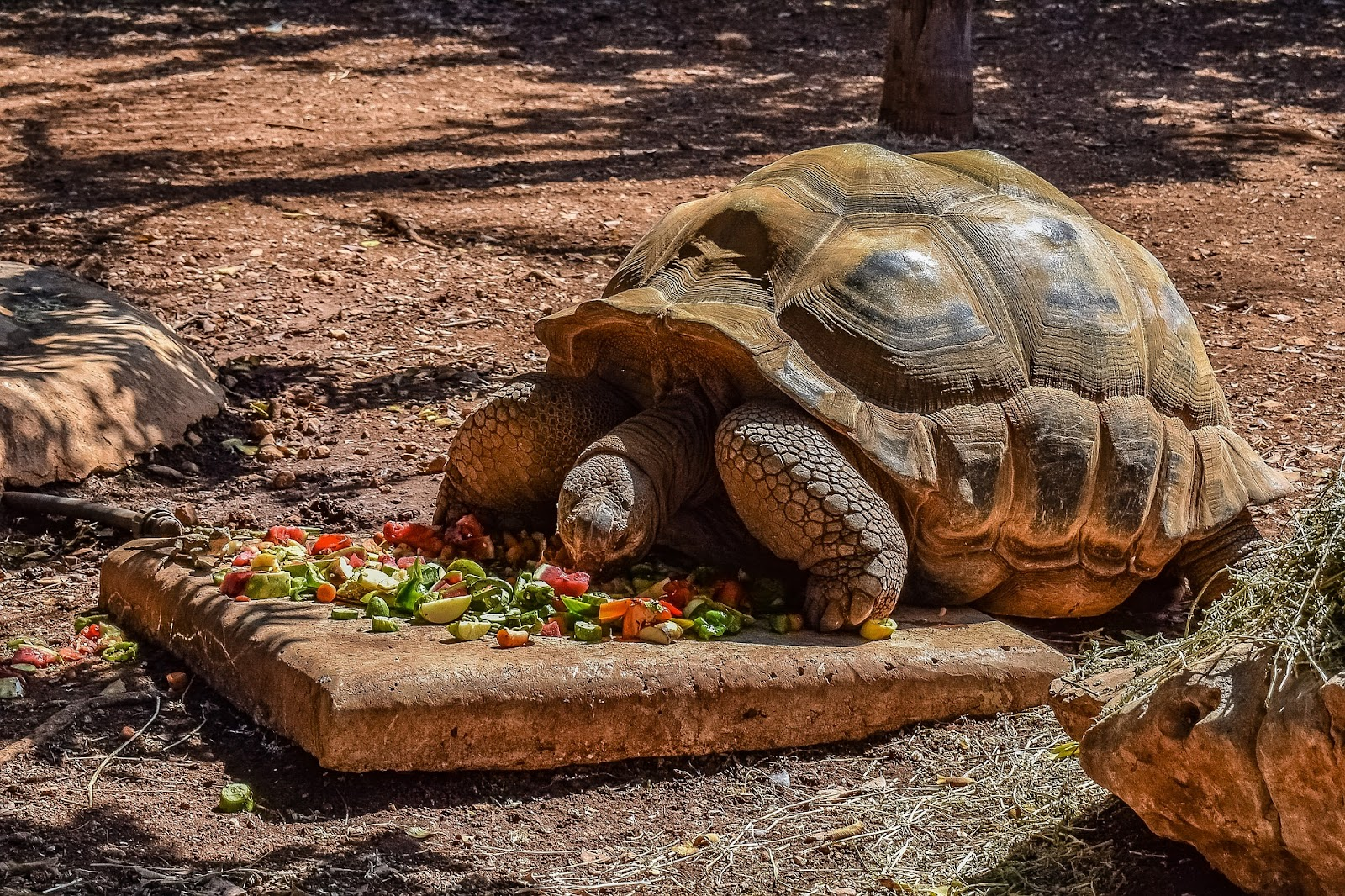 Tortoise eating fruits and vegetables