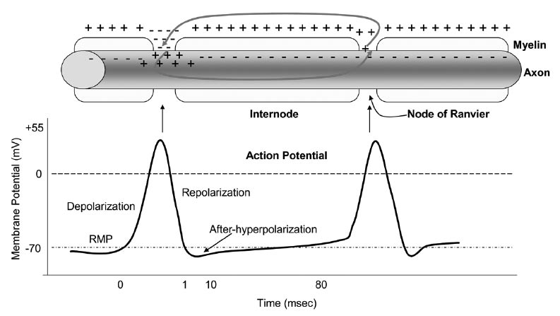 Saltatory conduction of an action potential along a myelinated axon