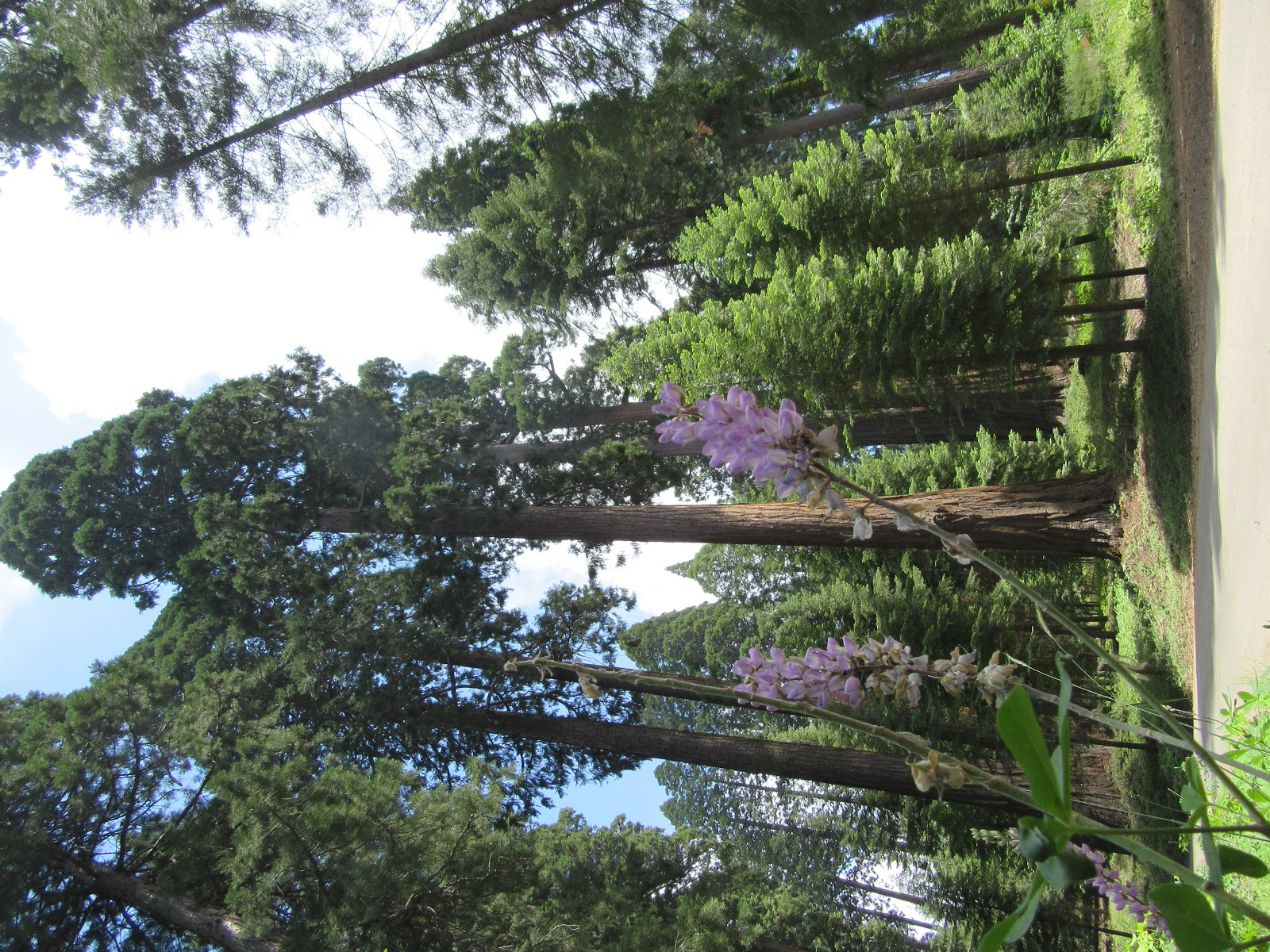 bike climb up  Bear Creek Road - giant sequoia redwood tree and flower