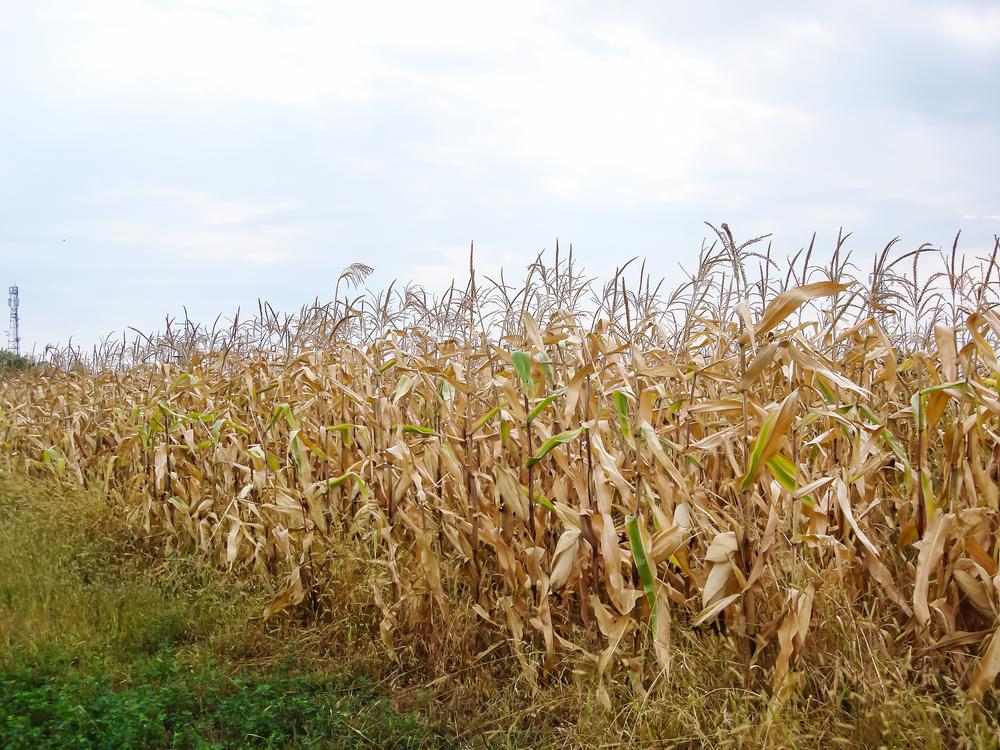 Condições climáticas adversas derrubaram produtividade da segunda safra do cereal. (Fonte: Shutterstock/Vlad Ispas/Reprodução)