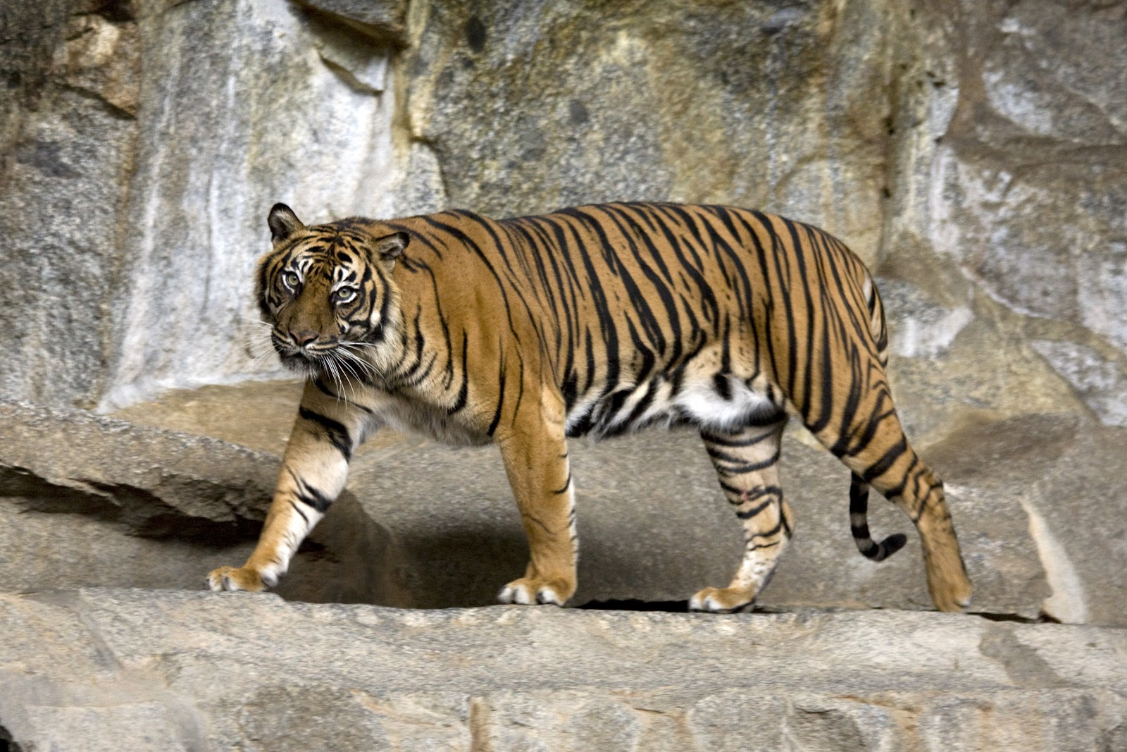File:Sumatran Tiger Berlin Tierpark.jpg - Wikimedia Commons
