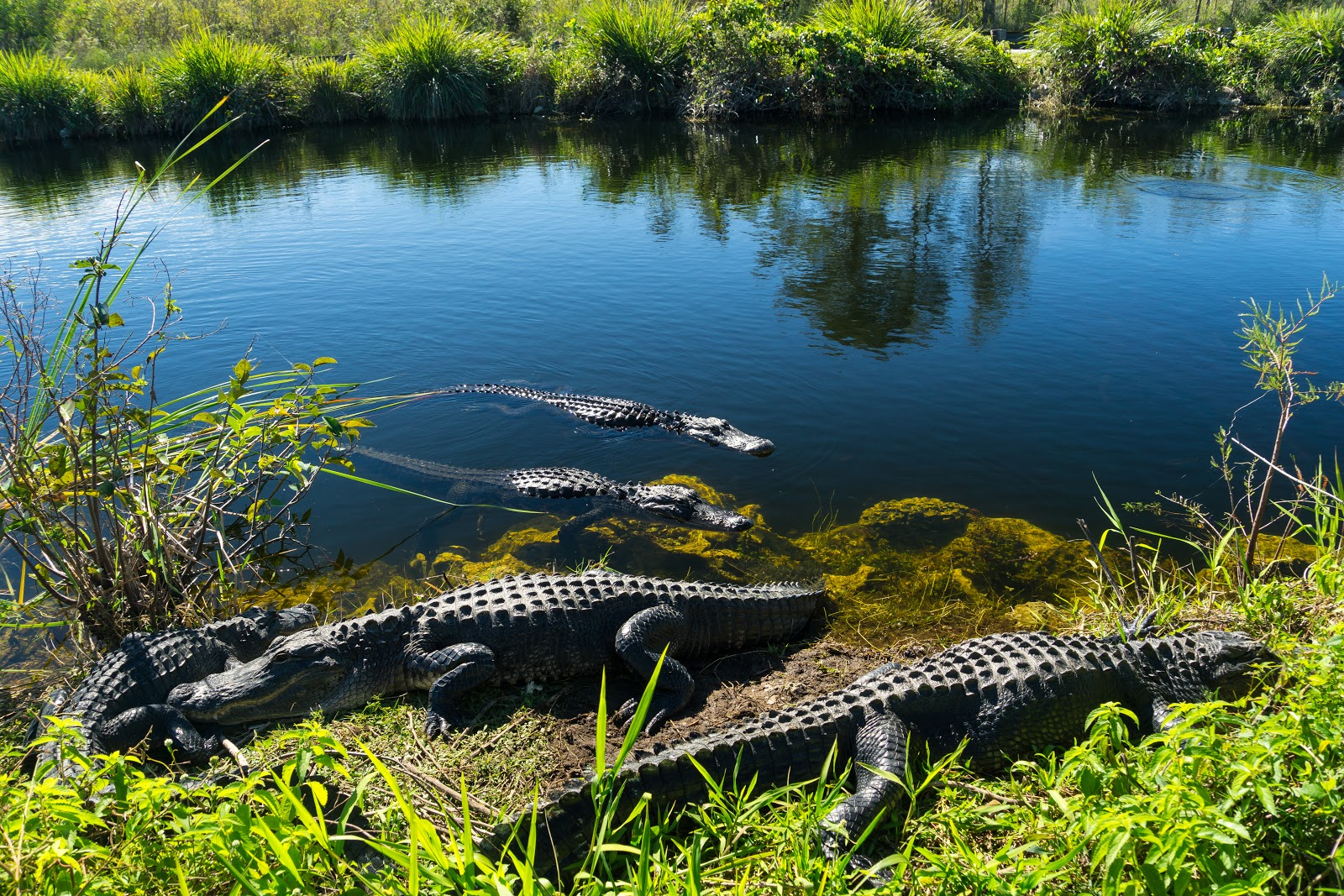 Five crocodiles sunbathing in the river and on the riverbank.