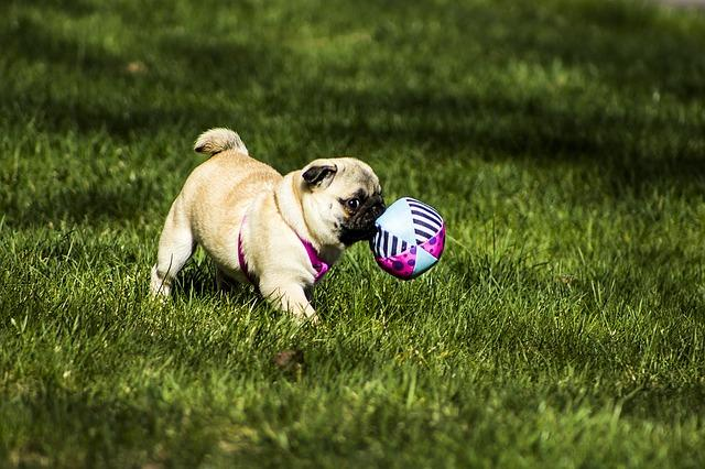Ball catching is a super-funny game to play with your Pug.