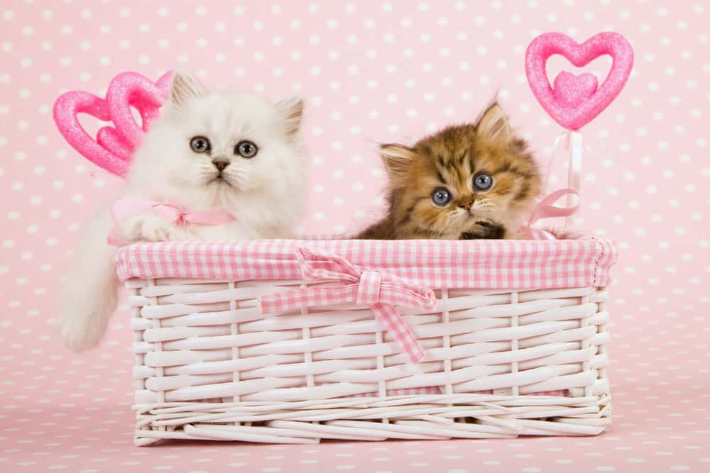 نژادهای مطرح گربه در ایران 8