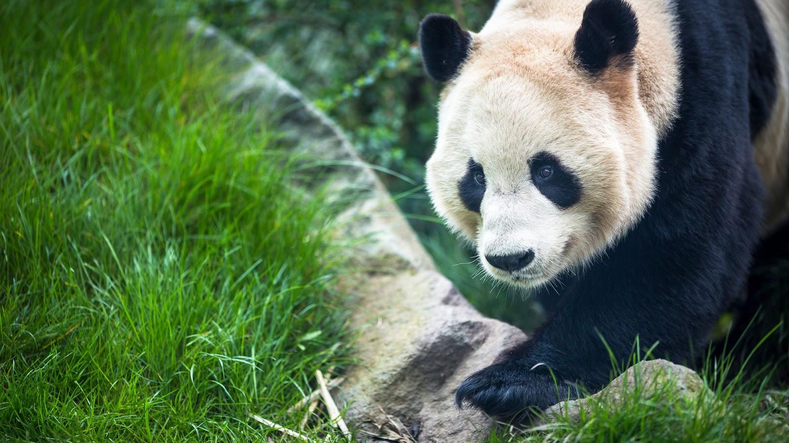 Riesen Panda im Zoo von Edinburgh