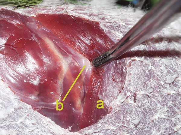 Using a curved forceps, the m. iliotibialis (a) is reflected caudally and the underlying fascia is penetrated caudal to the last rib (b), as is demonstrated here on a dead bird with skin removed