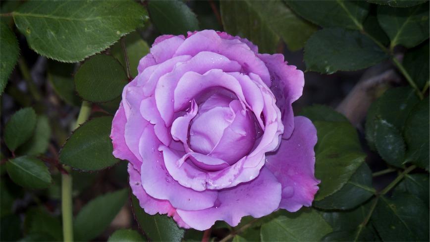 Lavender Rose?.jpg