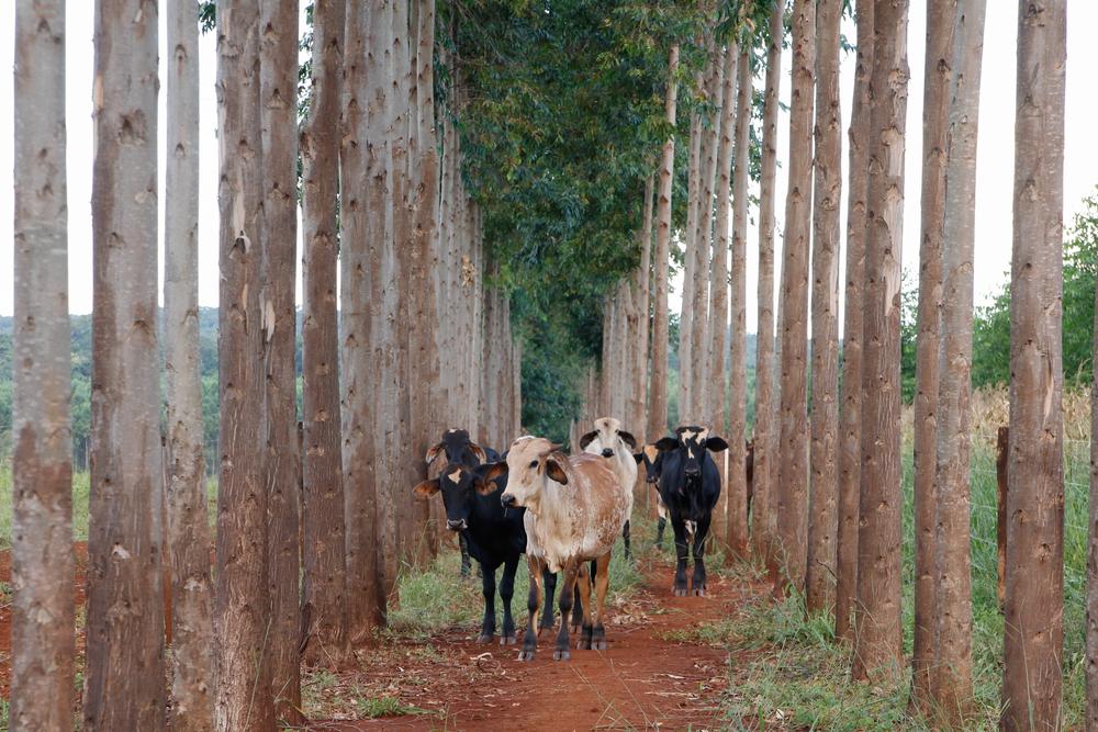 A integração lavoura-pecuária-floresta garante o bem-estar do animal, a fixação de carbono, a biodiversidade e o retorno financeiro. (Fonte: Fernando Branco Aerocam/Shutterstock)