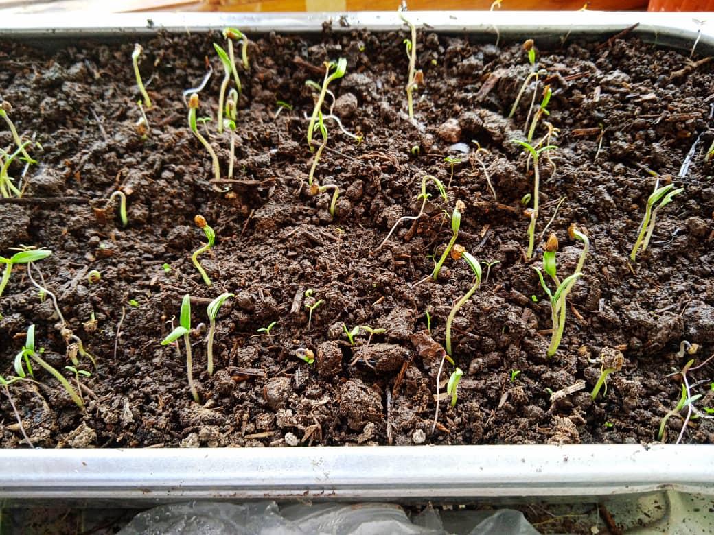 семенапомидоров всход