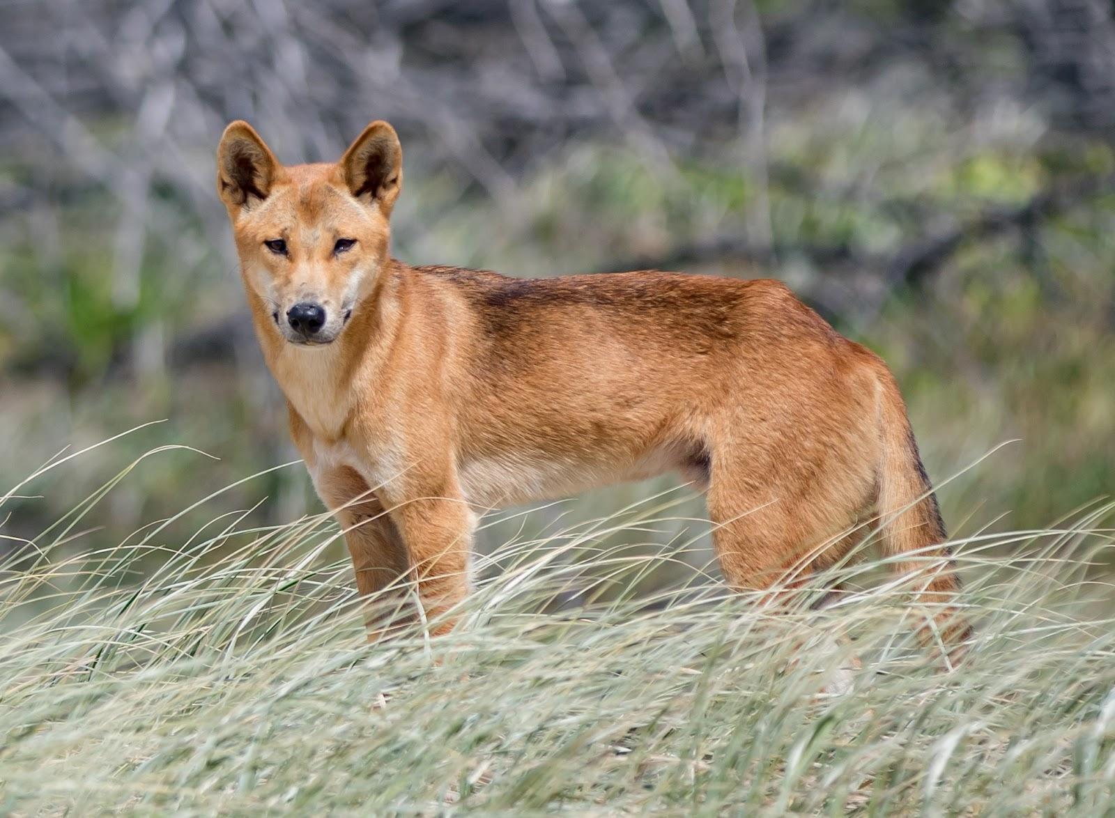 澳洲Dingo