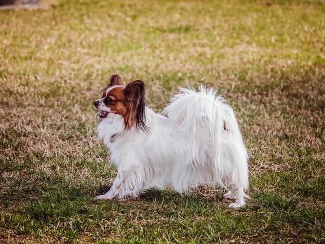small dog breed, papillon